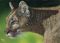 ACEO-Cougar-Mountain-Lion